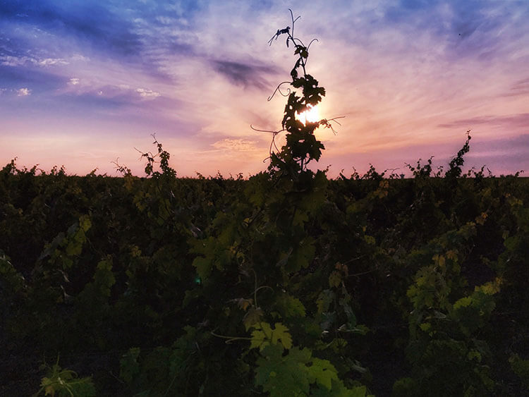 A grape vine is silhouetted against the pink sunset at Château Kirwan