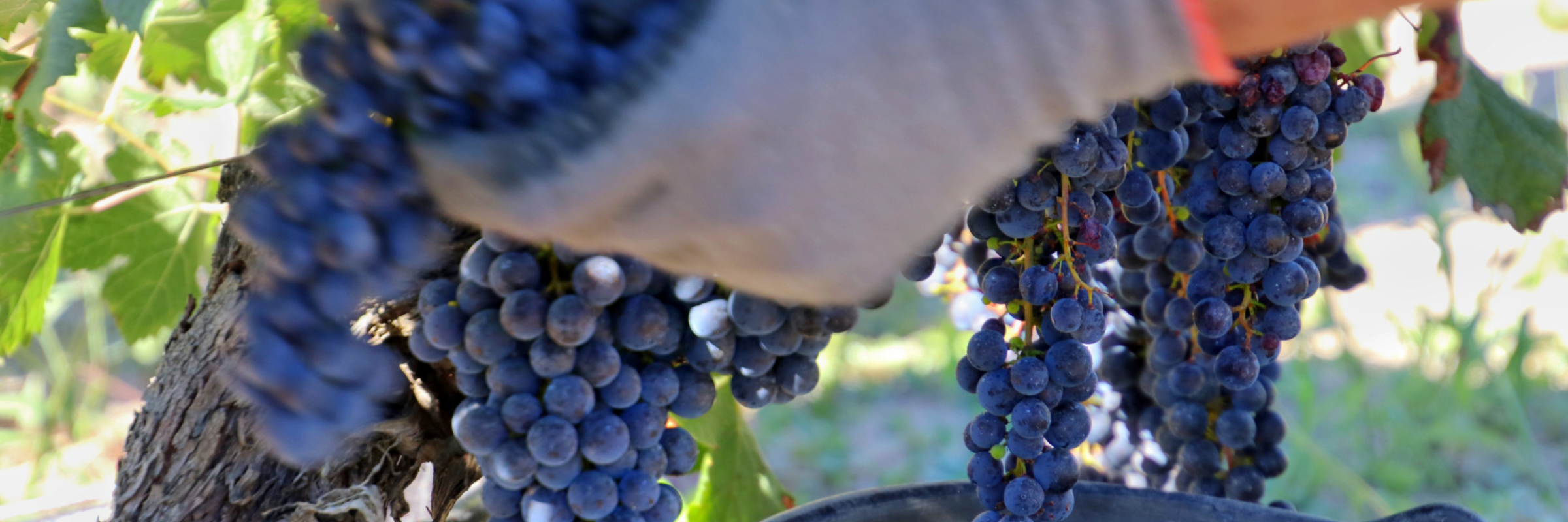 A close up of a grape picker's hands while picking bunches of Merlot grapes from the vines in Pomerol