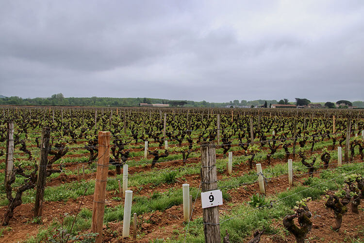 Gray, misty morning in the vineyard at Chateau Coutet Barsac