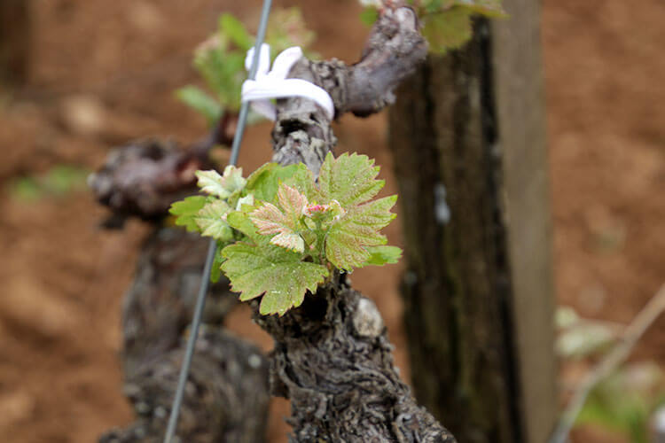 The bud break at Chateau Coutet Barsac