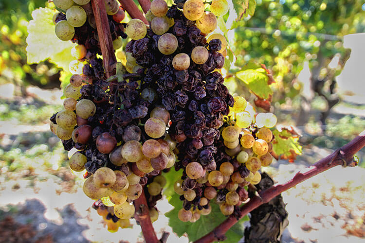 Semilion grapes have the beginning of botrytis at Chateau Lafaurie Peyraguey