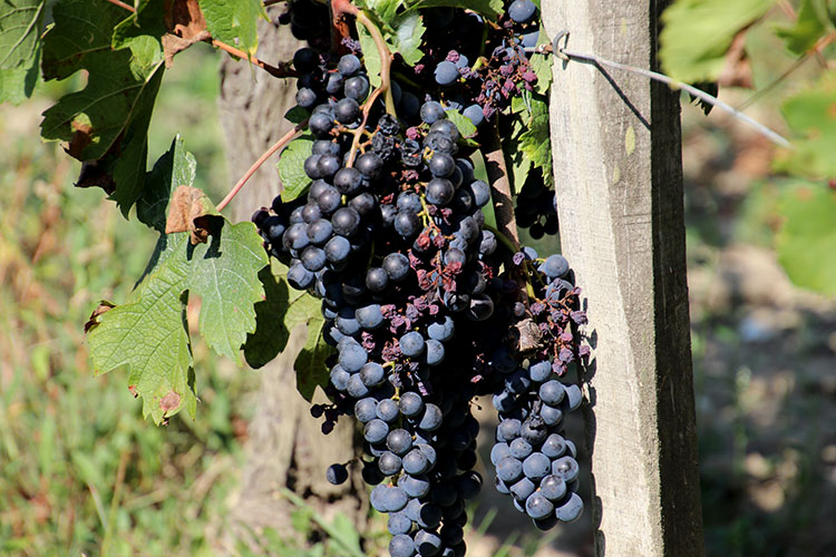 Merlot grapes with some mildew at Chateau Vieux Mougnac