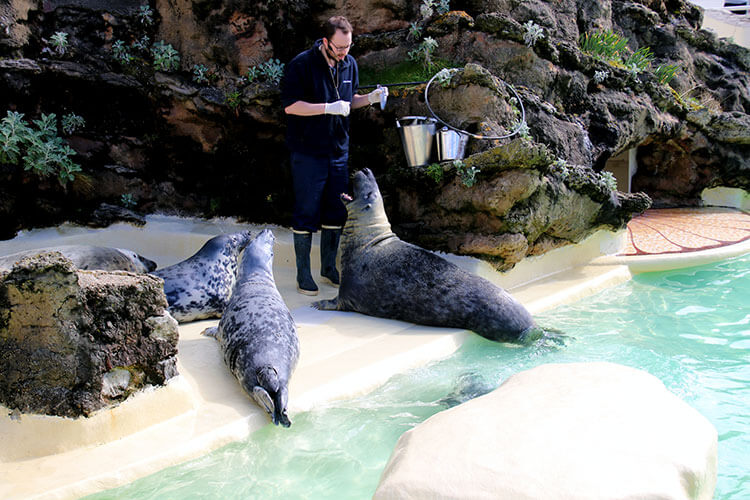 A technician feeds five seals, including the male, Charlie, at Biarritz Aquarium