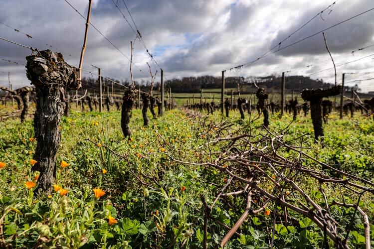 The pruned vine shoots lay between the rows of vines as wildflowers bloom in winter at Château de Candale