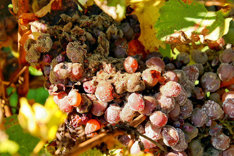 The botrytis on Semilion grapes at Château de Monbazillac in late summer
