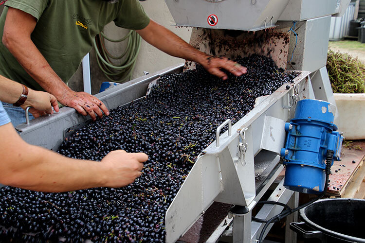 The winemaker sorts the destemmed grapes before they travel to the vats on a conveyor belt